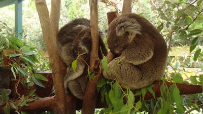 Koalas, Australia