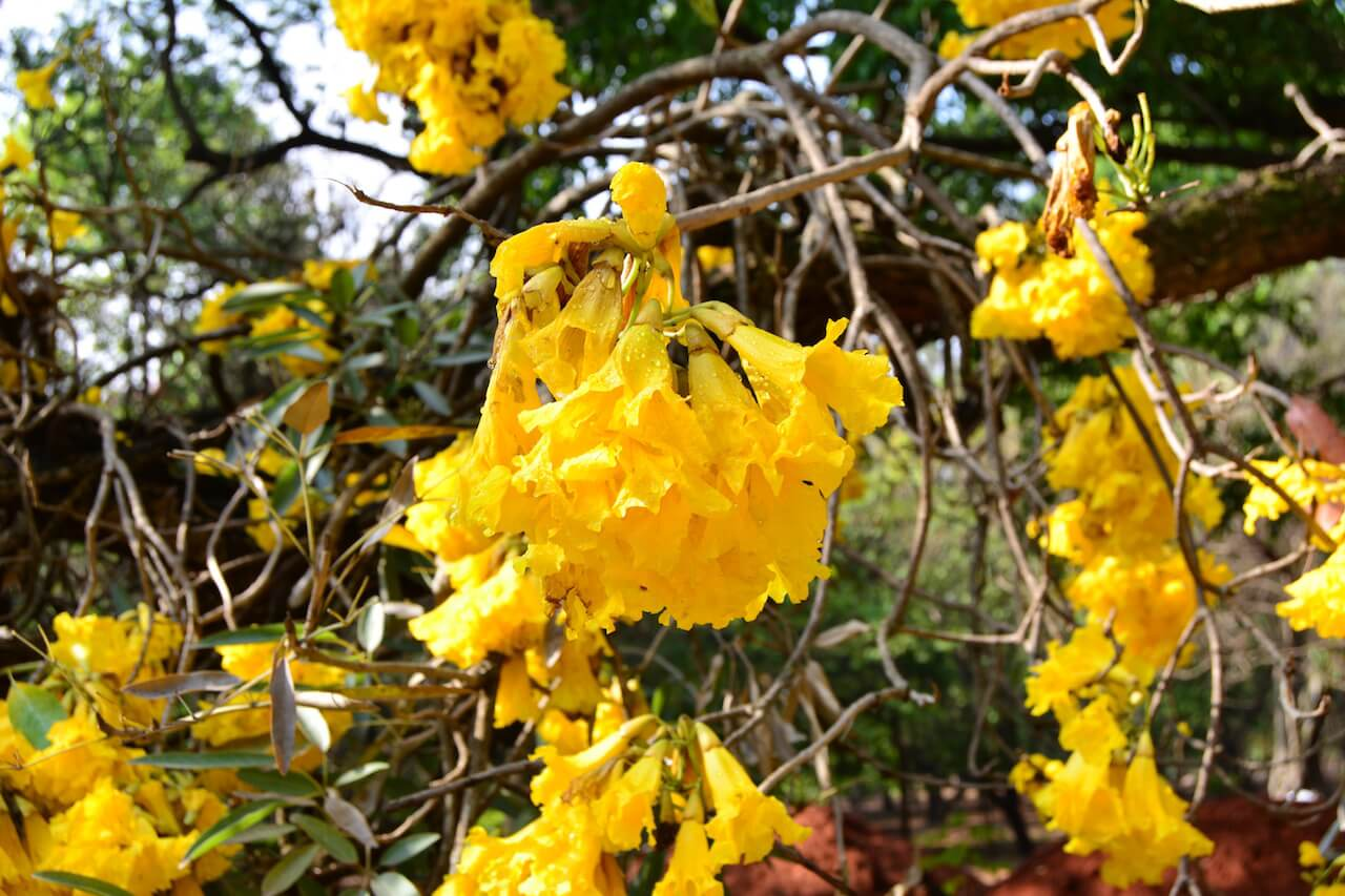 asia travel tips - some pretty yellow flowers in a park in Bangalore