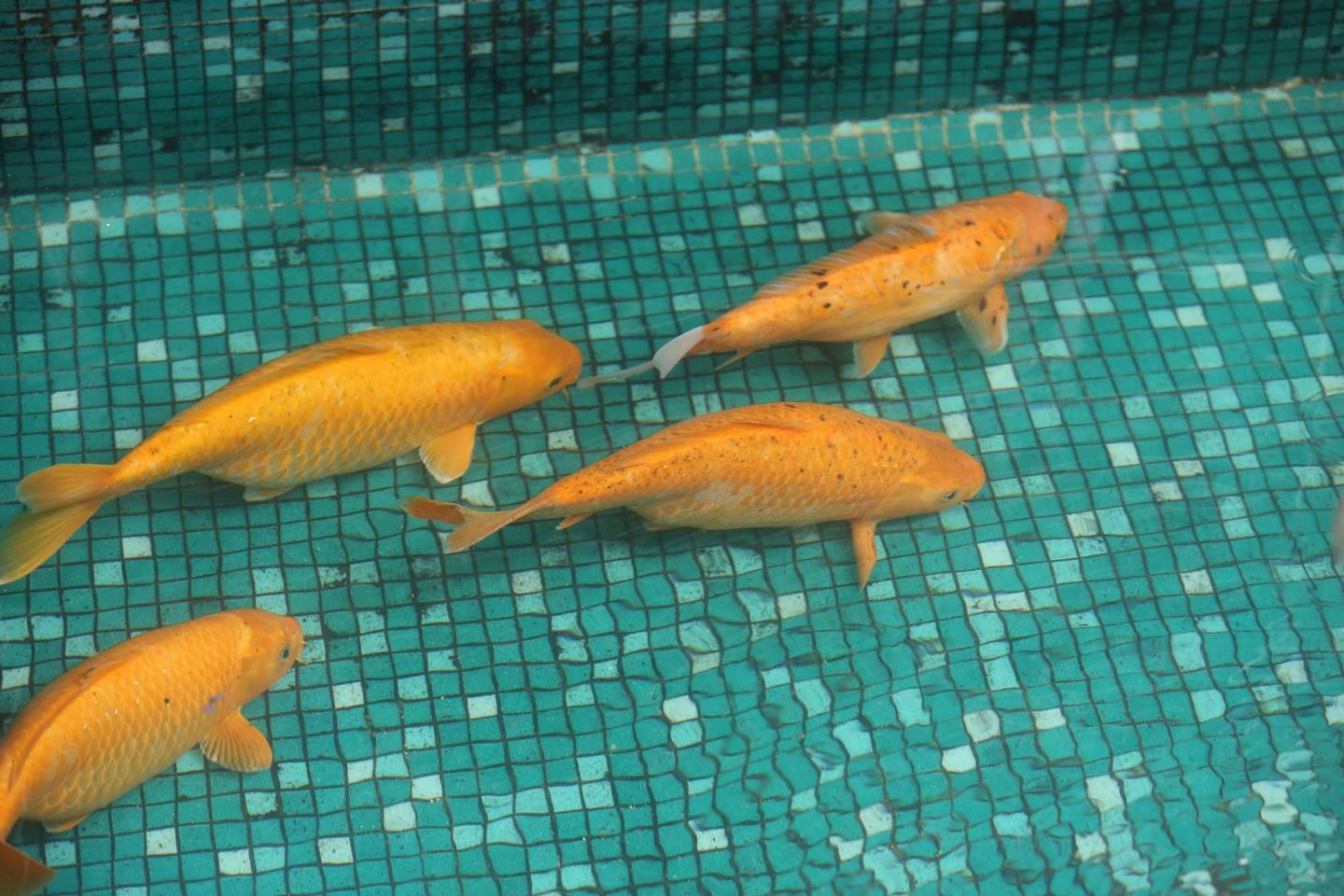 4 Golden fishes swimming at a restaurant in Bangalore