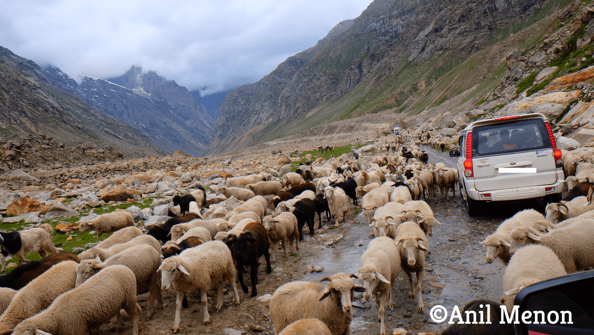 Sheep obstructing cars in the middle of nowhere in the Himalayas in India