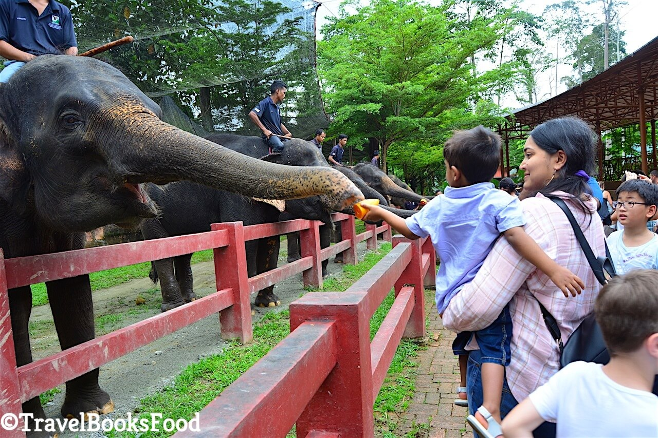 A group of elephants being fed by visitors at Kuala Gandah elephant sanctuary