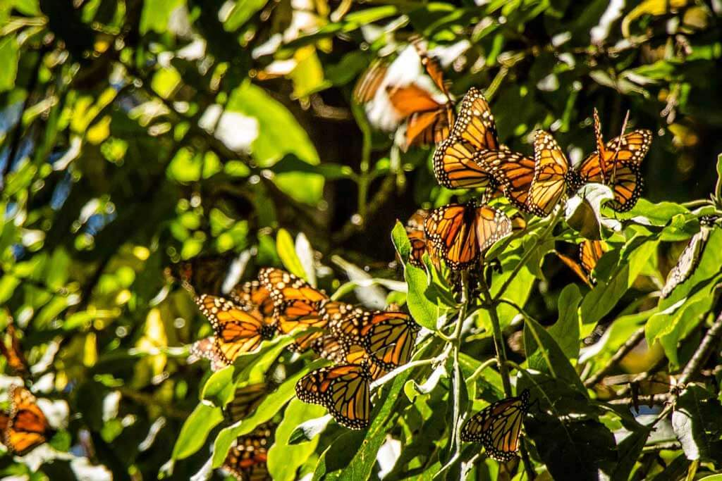 A bunch of Monarch butterflies amidst greenery in Valle De Bravo, Mexico