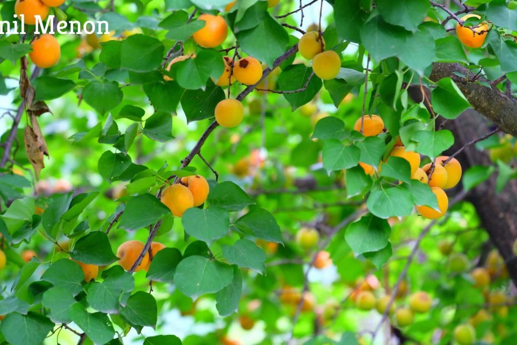 Johnson_Orchard_Homestay_in_Manali_Peaches