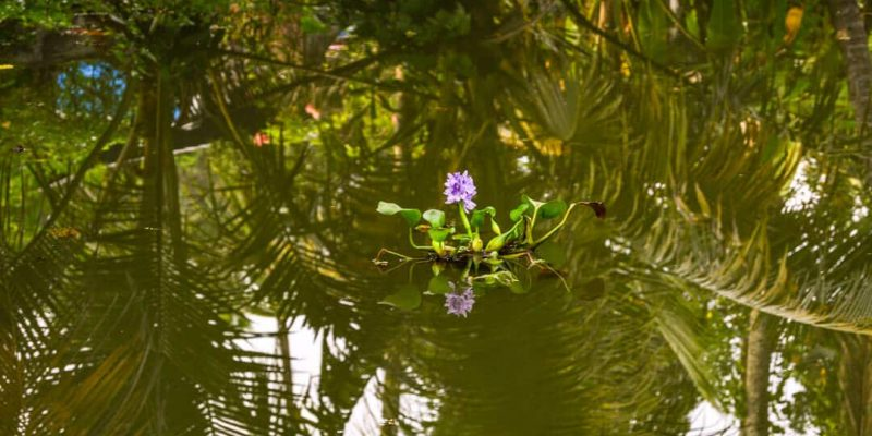A lone flower in the middle of a lake ; Kerala (Human By Nature)