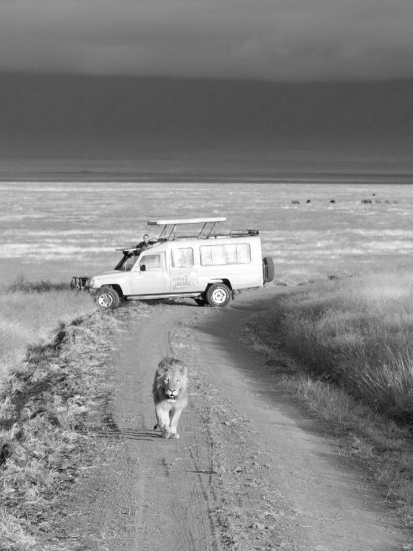 Lion_B2526W_Ngorongoro